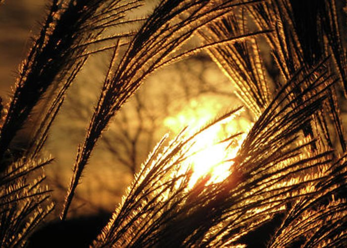 Sunset Greeting Card featuring the photograph Sun In Grass Panoramic by Amy Tyler