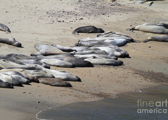 Pacific Coast Greeting Card featuring the photograph Sunbathing Elephant Seals Along A Beach At Point Reyes California . 7d16063 by Wingsdomain Art and Photography