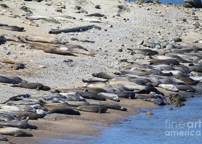 Pacific Coast Greeting Card featuring the photograph Sunbathing Elephant Seals Along A Beach At Point Reyes California . 7d16065 by Wingsdomain Art and Photography