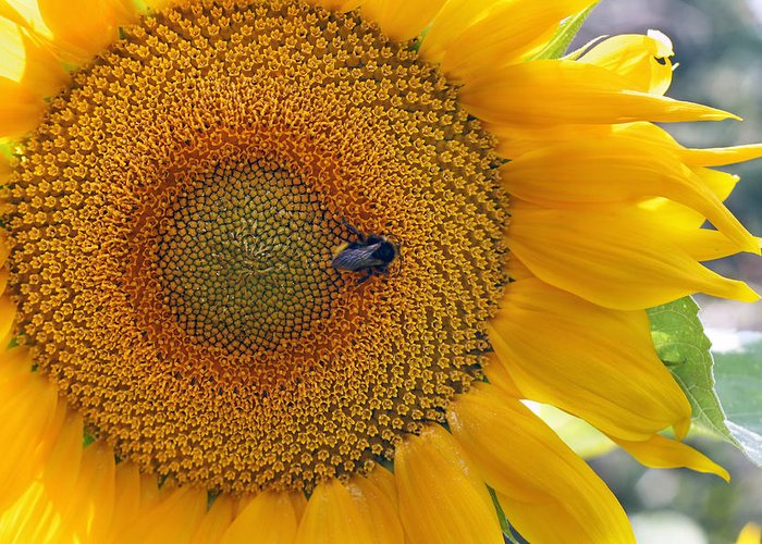 Sunflower Greeting Card featuring the photograph Sunflower And A Bumblebee by Aleksandr Volkov