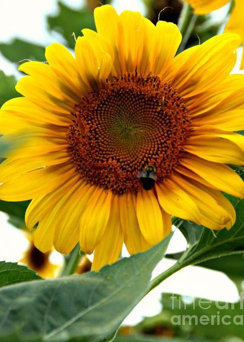 Greeting Card featuring the photograph Sunflower by Brian Seidenfrau