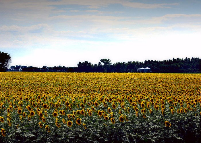 Flowers Greeting Card featuring the photograph Sunflower Farm In North Dakota by Ed Golden