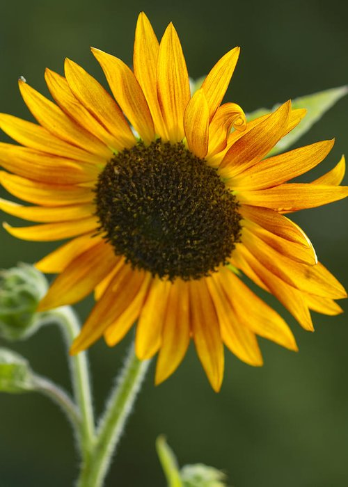 Sunflower Greeting Card featuring the photograph Sunflower by Kathy Clark