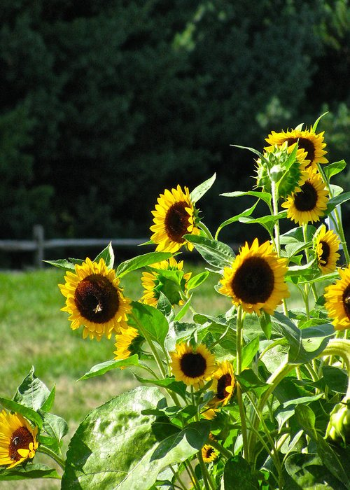 Sunflower Patch Greeting Card featuring the photograph Sunflower Patch by Debra   Vatalaro
