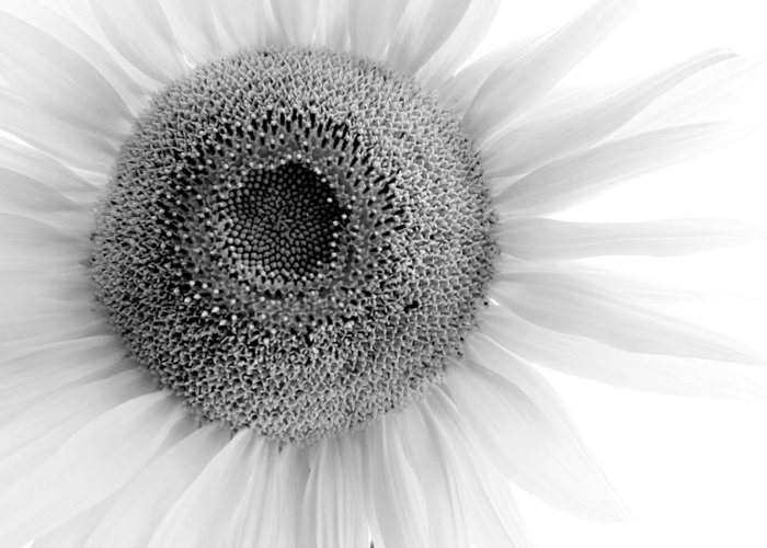 Flower Greeting Card featuring the photograph Sunflower by Tony Ramos
