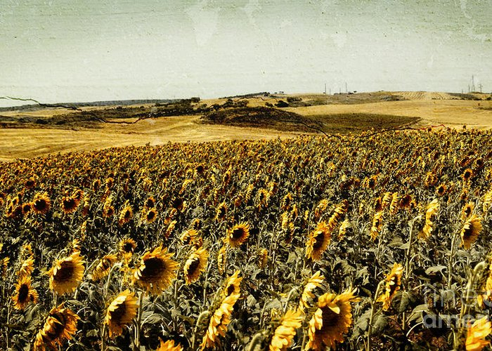 Sunflowers Field Greeting Card featuring the photograph Sunflowers Field by Anja Freak