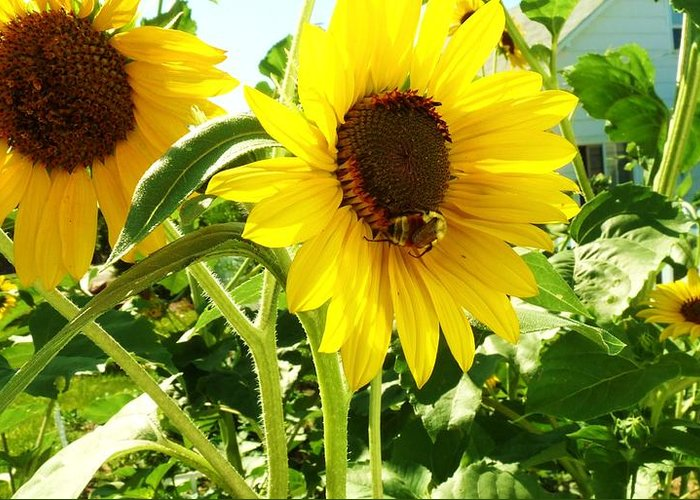 Flowers Greeting Card featuring the photograph Sunflowers by Sharon Harrison