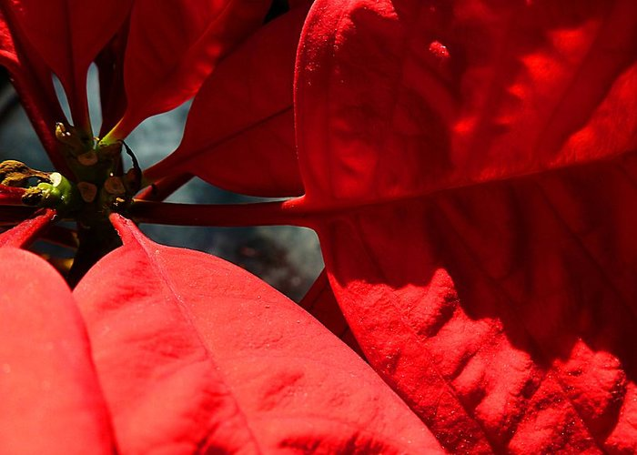 Sunny Poinsettia Greeting Card featuring the photograph Sunny Poinsettia by Beth Akerman