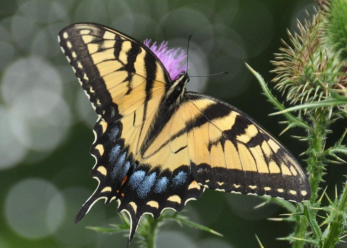 Butterflies Greeting Card featuring the photograph Swallowtail by Deborah Bifulco