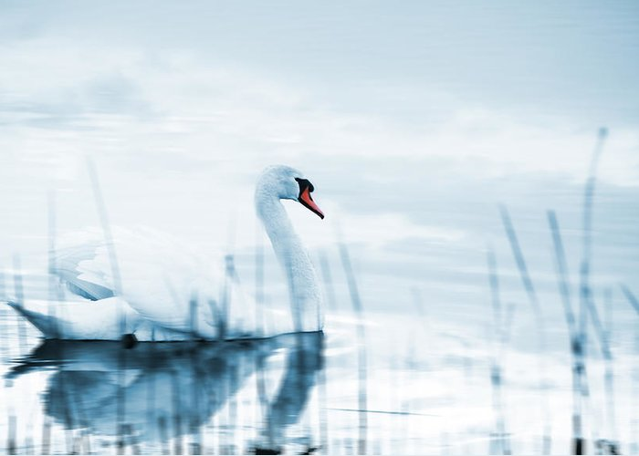 Animal Greeting Card featuring the photograph Swan by Jaroslaw Grudzinski