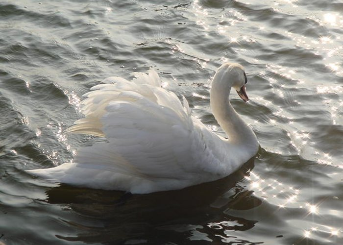 Mute Swan Greeting Card featuring the photograph Swan Lake by Sandra Cockayne