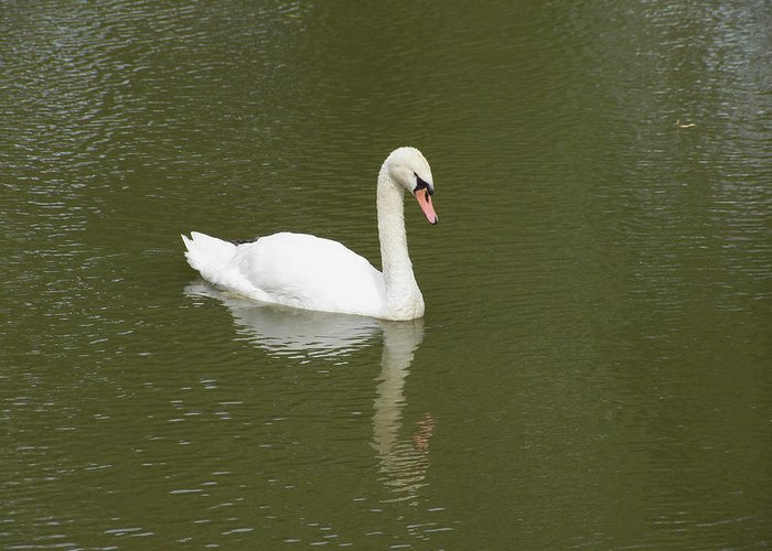 Swan Greeting Card featuring the photograph Swan Looking At Reflection by Corinne Elizabeth Cowherd