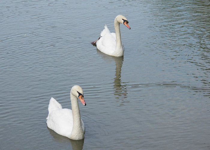Swan Greeting Card featuring the photograph Swans Drifting Along by Corinne Elizabeth Cowherd
