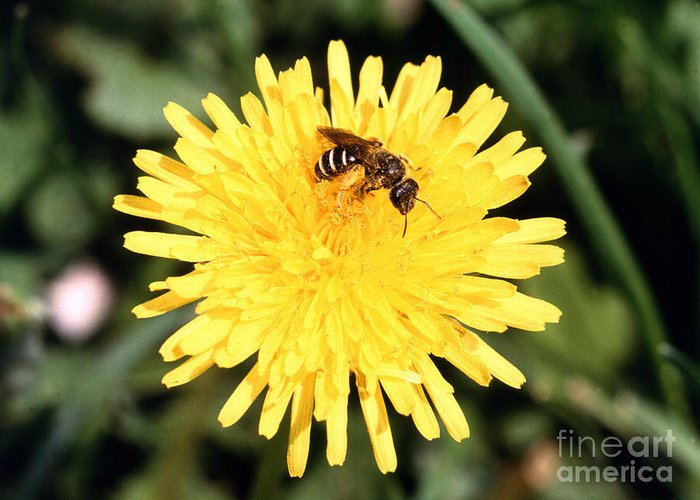 Bee Greeting Card featuring the photograph Sweat Bee by Science Source