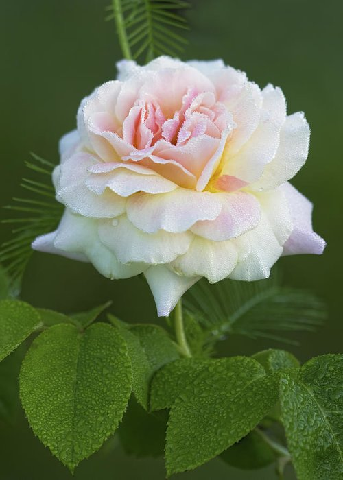 Peace Greeting Card featuring the photograph Sweet Morning Peace Rose by Kathy Clark