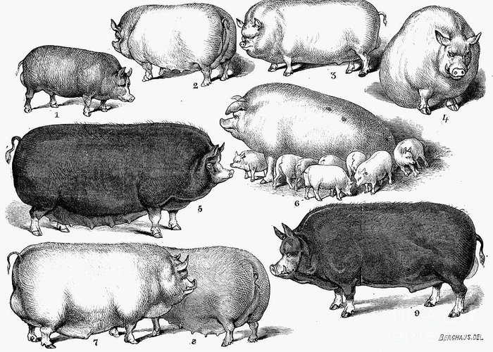 1876 Greeting Card featuring the photograph Swine, 1876 by Granger