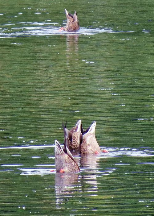 Tacoma Greeting Card featuring the photograph Synchronized Ducking by Chris Anderson