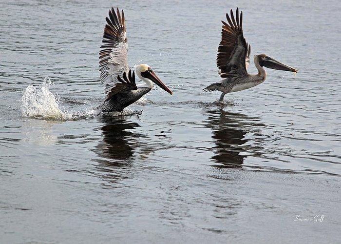 Pelican Greeting Card featuring the photograph Taking Off by Suzanne Gaff