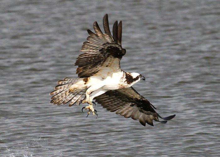 Osprey Prints Greeting Card featuring the photograph Talons by Paul Marto