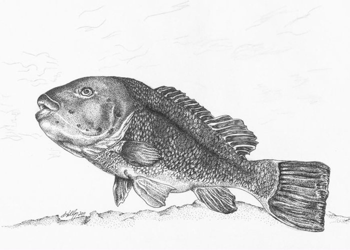 Tautog Greeting Card featuring the drawing Tautog by Kathleen Kelly Thompson