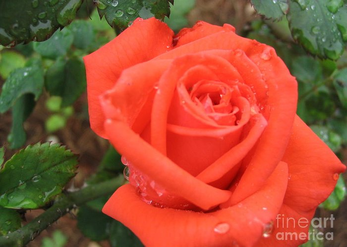 Rose Greeting Card featuring the photograph Tee Sip by Mark Robbins