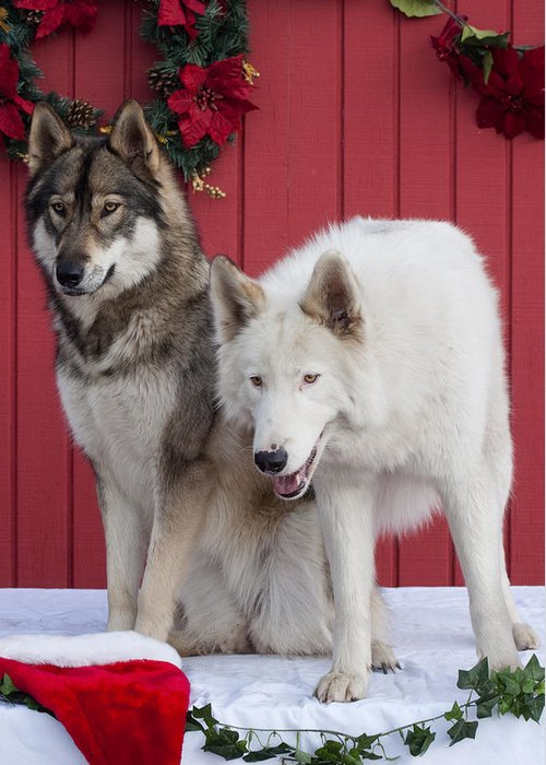 Wolf Greeting Card featuring the photograph Tehya And Chenoa's Christmas by Amanda LeClerc