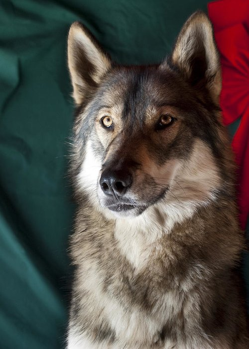 Wolf Greeting Card featuring the photograph Tehya's Christmas Portrait by Amanda LeClerc