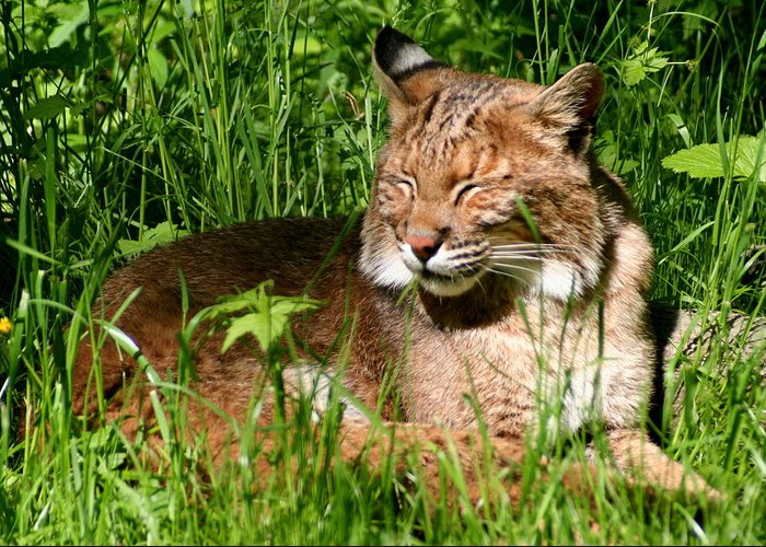 Lynx Rufus Greeting Card featuring the photograph The Bobcat's Afternoon Nap by Laurel Talabere