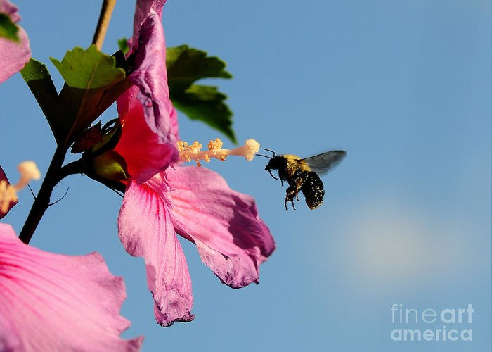Bumble Bee Greeting Card featuring the photograph The Bumblebee And The Rose If Sharon by Michael Womack
