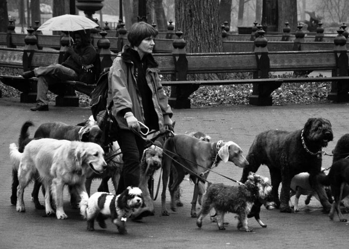 Dogs Greeting Card featuring the photograph The Dog Walker by Heidi Reyher