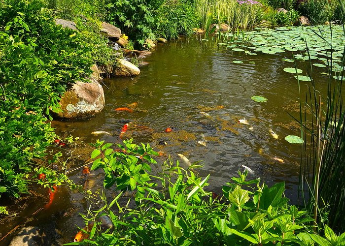 Koi Greeting Card featuring the photograph The Koi Are Feeding by Byron Varvarigos