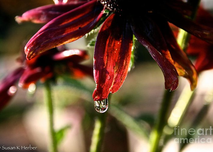 Flower Greeting Card featuring the photograph The Last Drop by Susan Herber