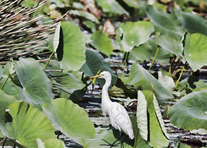 Egret Greeting Card featuring the photograph The Lily Float by Douglas Barnard