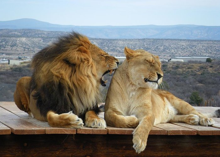 Wildlife Greeting Card featuring the photograph The Lions by Olga Vlasenko