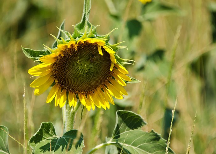Sunflowers Greeting Card featuring the photograph The Loner by Lisa Moore
