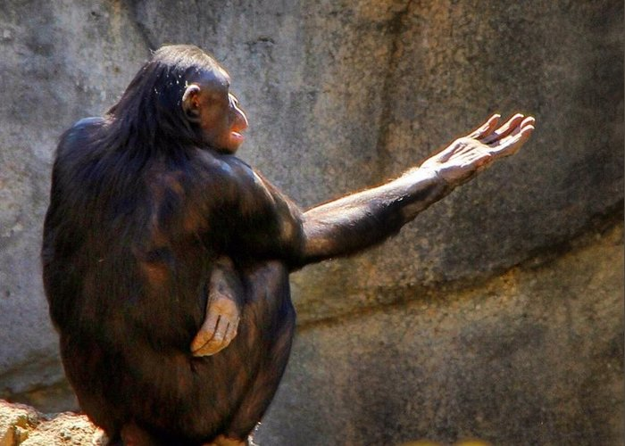 Chimpanzee Greeting Card featuring the photograph The Philosopher by Phil Huettner