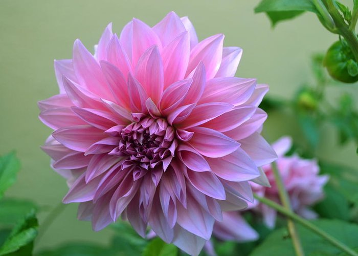 Pink Greeting Card featuring the photograph The Pink Dahlia-flower2 by Saifon Anaya