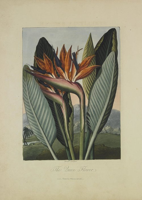 Thornton Greeting Card featuring the drawing The Queen Flower by Robert John Thornton
