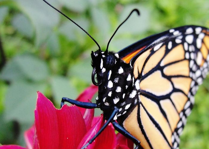 Monarch Maine Butterfly Stare Flower Greeting Card featuring the photograph The Stare by Katie Bauer