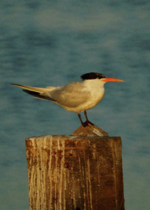 Tern Greeting Card featuring the photograph The Tern by Ernie Echols