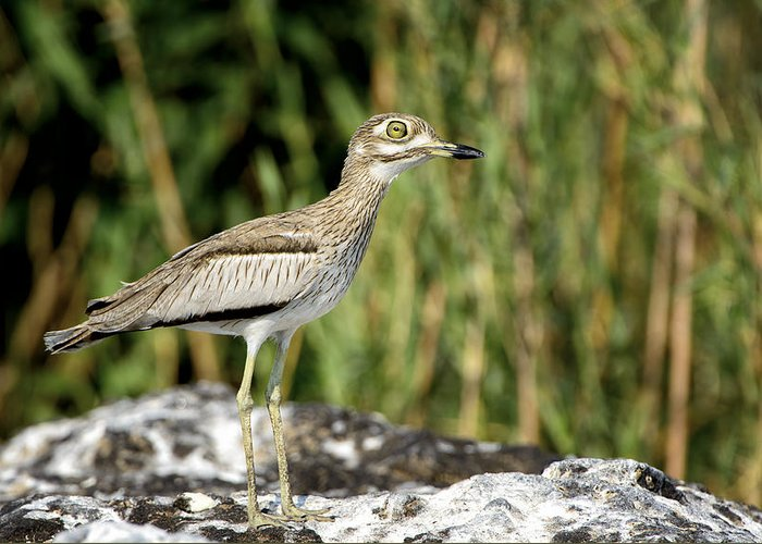 Chobe Greeting Card featuring the photograph This Is Botswana No. 5 - Water Thick-knee by Paul W Sharpe Aka Wizard of Wonders