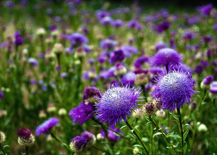 Flower Greeting Card featuring the photograph Thistle Field by Tamyra Ayles
