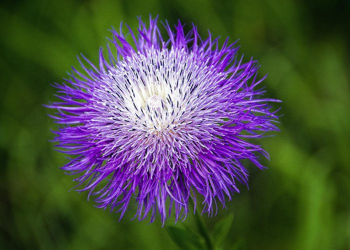 Wildflower Greeting Card featuring the photograph Thistle II by Tamyra Ayles