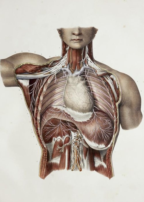 Nerve Greeting Card featuring the photograph Thoracic Nerves, 1844 Artwork by
