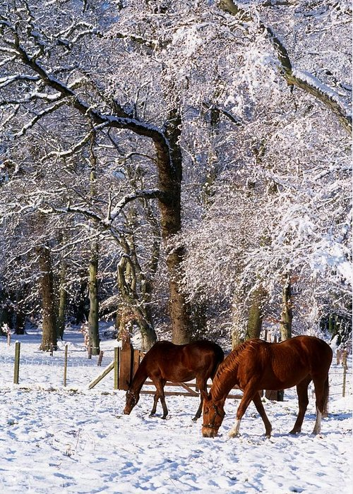 Cold Greeting Card featuring the photograph Thoroughbred Horses, Mares In Snow by The Irish Image Collection
