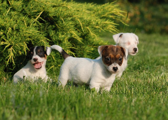 Animal Greeting Card featuring the photograph Three Jack Russell Terrier Puppies by Waldek Dabrowski