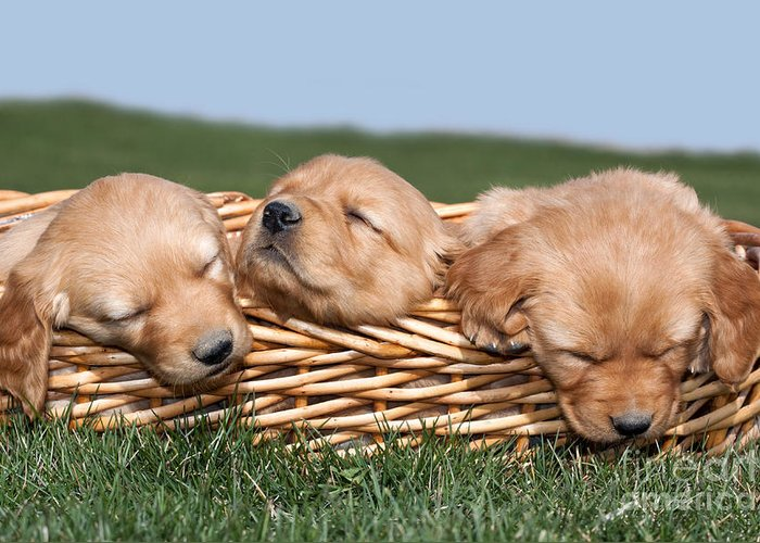 Dogs Greeting Card featuring the photograph Three Sleeping Puppy Dogs In Basket by Cindy Singleton