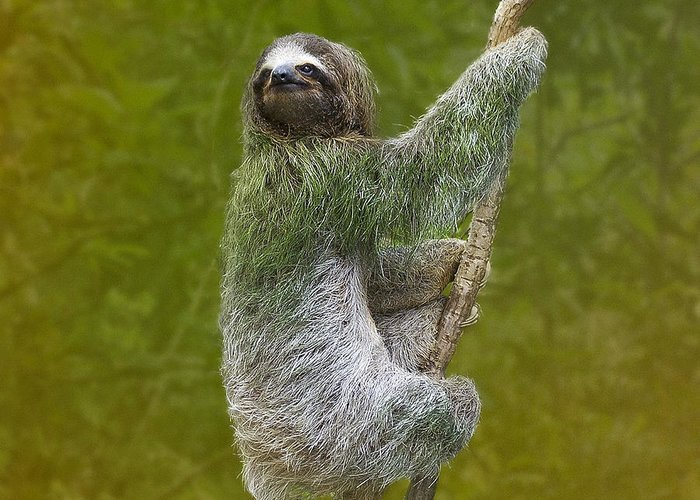 Nature Greeting Card featuring the photograph Three-toed Sloth Climbing by Heiko Koehrer-Wagner