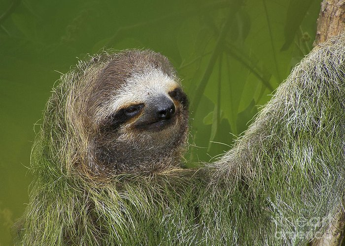 Nature Greeting Card featuring the photograph Three-toed Sloth by Heiko Koehrer-Wagner