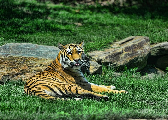 Tiger Greeting Card featuring the photograph Tiger - Endangered - Lying Down - Tongue Out by Paul Ward